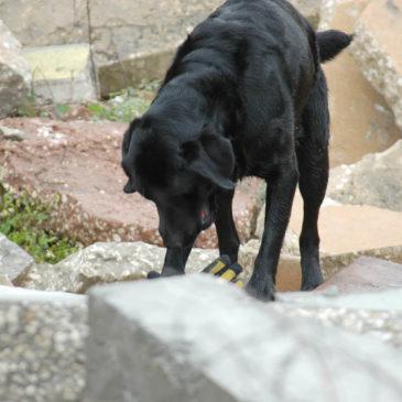 Prova på-dag tjänstehund